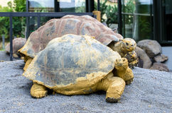 Galapagos tortoise Chelonoidis nigra Zdjęcia Royalty Free