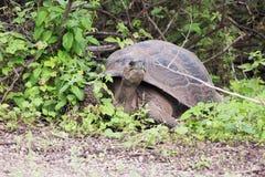 Galapagos tortoise Stock Images