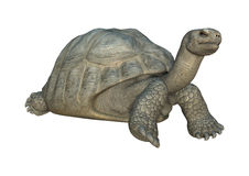 Galapagos Tortoise. 3D digital render of a Galapagos tortoise iaolated on white background Royalty Free Stock Photo