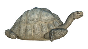 Galapagos Tortoise. 3D digital render of a Galapagos tortoise isolated on white background Royalty Free Stock Images