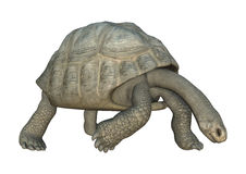 Galapagos Tortoise. 3D digital render of a Galapagos tortoise looking down isolated on white background Royalty Free Stock Photos