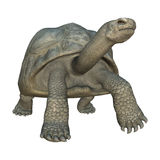 Galapagos Tortoise. 3D digital render of a walking Galapagos tortoise isolated on white background Royalty Free Stock Photos