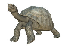 Galapagos Tortoise. 3D digital render of a walking Galapagos tortoise looking down isolated on white background Royalty Free Stock Photo