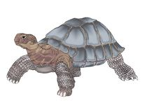 Galapagos Tortoise detailed drawing in color. Large Galapagos Tortoise slowing making his way across the Island looking for food Royalty Free Stock Images