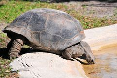 Galapagos tortoise drinking in pool of water Stock Photo
