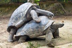 galapagos tortoise dwa Zdjęcia Stock