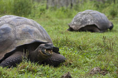 Galapagos Tortoise Eating. A large Galapagos Tortoise eating in the foreground with another in the backround Stock Photos