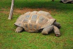 Galapagos tortoise eating royalty free stock photography