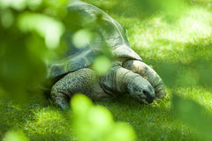 Galapagos Tortoise. Eating food royalty free stock images