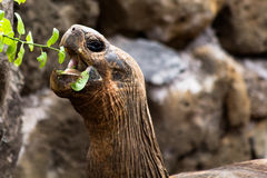 Galapagos Tortoise Eating Stock Image