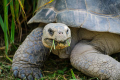 Galapagos tortoise eating. The galapagos tortoise has still got grass in its mouth and is wandering about Royalty Free Stock Images
