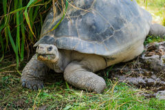 Galapagos tortoise eating. A galapagos tortoise with some grass in its mouth Stock Photos