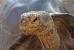 Galapagos Tortoise, Galapagos wyspy, Ekwador Fotografia Stock