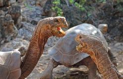 Galapagos Tortoise, Galapagos wyspy, Ekwador Obraz Royalty Free