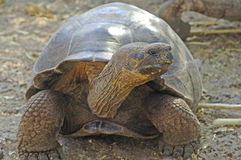 Galapagos Tortoise, Galapagos wyspy, Ekwador Obrazy Royalty Free