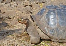 Galapagos Tortoise, Galapagos wyspy, Ekwador Obraz Stock