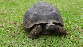 Galapagos Tortoise, Geochelone nigra, close view stock footage