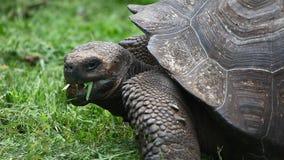 Galapagos Tortoise, Geochelone nigra, closeup stock footage