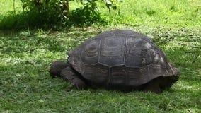 Galapagos Tortoise, Geochelone nigra, feeding stock video