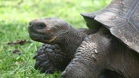 Galapagos Tortoise, Geochelone nigra, side view stock video footage