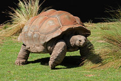 Galapagos tortoise Stock Photos