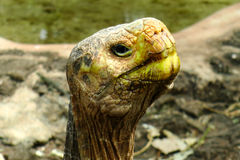 Galapagos Tortoise. Galapagos Giant) Tortoise in Galapagos, Ecuador stock photo
