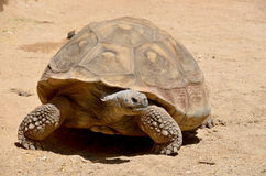 The Galapagos tortoise Royalty Free Stock Images