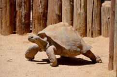 The Galapagos tortoise Royalty Free Stock Image
