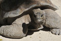 The Galapagos tortoise Stock Photography