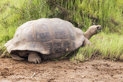 Galapagos tortoise with grass in its beak. Stock Photography
