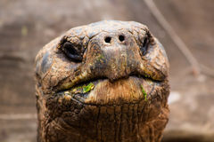 Galapagos Tortoise. The head and face of a Galapagos giant tortoise Royalty Free Stock Photography