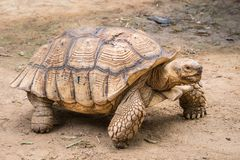 Galapagos tortoise in motion be an animal living. In the galapagos islands royalty free stock image