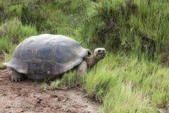 Galapagos tortoise patrzeje kamerę z trawą w swój belfrze Fotografia Royalty Free