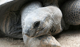 Galapagos Tortoise Portrait Stock Photography