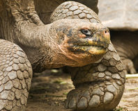 Galapagos Tortoise Portrait Royalty Free Stock Photo