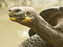 Galapagos Tortoise Profile Stock Images