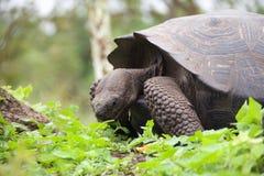 Galapagos tortoise. Reach  fauna on the Galapagos Islands Stock Photos