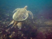 The Galapagos Tortoise swimming. Underwater of Galapagos islands, ecuador Stock Images