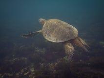 The Galapagos Tortoise swimming. Underwater of Galapagos islands, ecuador Royalty Free Stock Photos