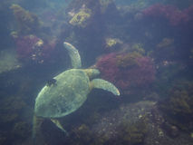The Galapagos Tortoise swimming. Underwater of Galapagos islands, ecuador Stock Image