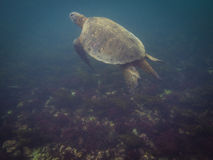 The Galapagos Tortoise swimming. Underwater of Galapagos islands, ecuador Royalty Free Stock Images