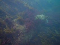 The Galapagos Tortoise swimming. Underwater of Galapagos islands, ecuador Royalty Free Stock Photo