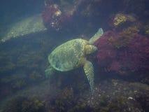 The Galapagos Tortoise swimming. Underwater of Galapagos islands, ecuador Stock Photo