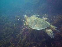 The Galapagos Tortoise swimming. Underwater of Galapagos islands, ecuador Stock Photos