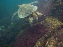 The Galapagos Tortoise swimming. Underwater of Galapagos islands, ecuador Royalty Free Stock Image