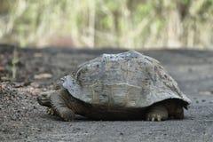 Galapagos Tortoise. S in Isabela island, Ecuador Stock Image