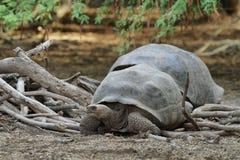 Galapagos Tortoise. S in Isabela island, Ecuador Royalty Free Stock Photos