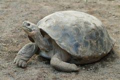 Galapagos Tortoise. S in Isabela island, Ecuador Stock Photography