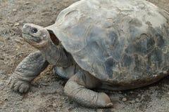 Galapagos Tortoise. S in Isabela island, Ecuador Royalty Free Stock Images