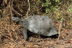 Galapagos Tortoise. S in Isabela island, Ecuador Stock Images